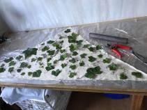 murgröna 2
